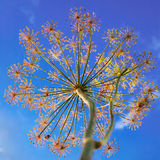 Dill flowers and a blue sky. A background of dill flowers under a bright blue sky stock photos