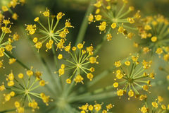 Dill flowers. Detail of dill flowers (close-up Stock Photo