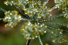 Dill flowers with dew drops Royalty Free Stock Photos