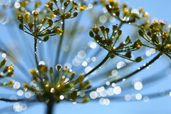 Dill flowers with dew drops Royalty Free Stock Photography