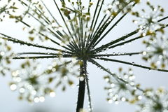 Dill flowers with dew drops Stock Images