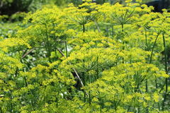 Dill flowers in a garden. Dill flowers background in a garden Royalty Free Stock Image