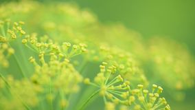 Dill flowers in garden. Close up yellow flowers of dill in vegetable summer or spring garden. Shallow focus depth stock video