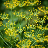 Dill flowers. Stock Photography