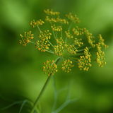 Dill flowers Royalty Free Stock Images
