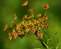 Dill flowers Stock Image