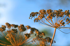 Dill flowers outdoor. Dry dill flowers on sky background - Anethum graveolens Royalty Free Stock Photography
