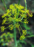 Dill flowers Stock Images