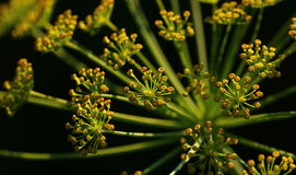 Dill flowers Royalty Free Stock Photography