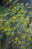 Dill in forcing pit. Royalty Free Stock Images