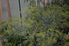 Dill is fragrant and fragrant green fragrant umbrella in the garden stock photo