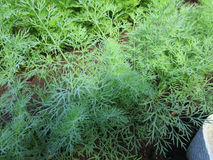 Dill in the garden. Annual herbaceous plant of the family Umbrella, used in cooking and medicine royalty free stock photography