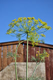 Dill in the garden. Inflorescence dill on the background of blue sky in the garden Stock Image
