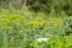 Dill Royalty Free Stock Photos