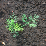Dill growing Royalty Free Stock Images