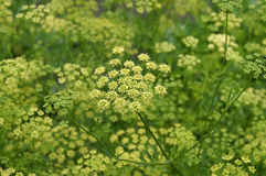Dill growing in the vegetable garden Royalty Free Stock Photos
