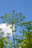 Dill grows Royalty Free Stock Photos