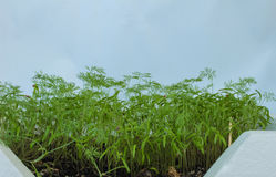 Dill grows in a flowerpot on the window. Background. Stock Image
