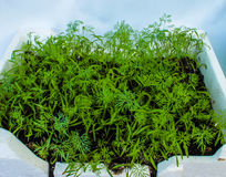 Dill grows in a flowerpot on the window. Background. Stock Images
