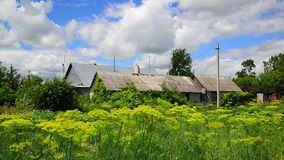 Dill grows in garden and in front of rural house in Russia stock video footage