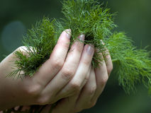 Dill in hands Royalty Free Stock Image