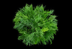 Dill herb on black Royalty Free Stock Photo