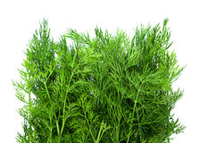 Dill herb closeup Royalty Free Stock Photo