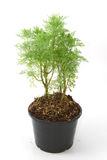 Dill herb,fresh vegetable Stock Image