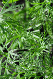 Dill herb Stock Photography
