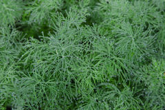 Dill herb. In the garden covered drops of morning dew Stock Photo
