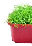 Dill herb growing in the flower bed Royalty Free Stock Image