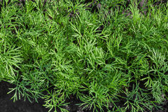 Dill herb Stock Photos