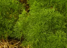Dill. Herb leaf background. Organic vegetables healthy vegetable, agricultural royalty free stock images
