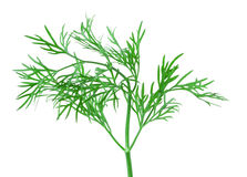 Dill herb leaf Stock Photo