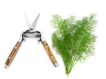 Dill Herb and Secateurs Stock Photo