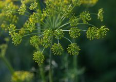Dill herbs Stock Photography
