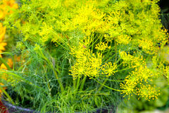 Dill herbs plant Stock Photography