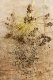 Dill inflorescence with dry seeds. Dill inflorescencewith dry seeds on a rustic wood surface selective focus Stock Image