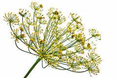 Dill inflorescence Stock Photo