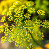 Dill inflorescence on a green background Royalty Free Stock Images