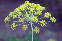 Dill inflorescence Royalty Free Stock Photo