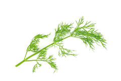 Dill isolated. Green dill isolated on white background Royalty Free Stock Images
