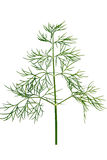 Dill, isolated on a white background Royalty Free Stock Image