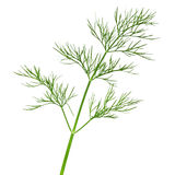 Dill. Isolated on white background. Fresh green herb. Macro shot Royalty Free Stock Photos