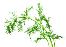 Dill isolated on white background. Fresh raw dill isolated on white background Stock Photos