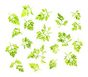 Dill leaves isolated Royalty Free Stock Photo