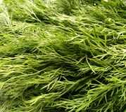 Dill Leaves Royalty Free Stock Photo