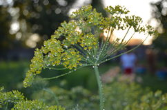 Dill in morning dew. Dill early in the morning in the garden Stock Photo