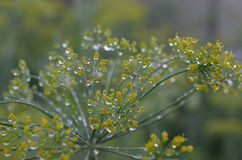 Dill in morning dew. Dill early in the morning in the garden Stock Image