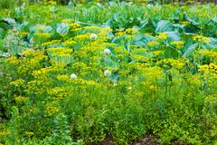 Dill onion cabbage garden Royalty Free Stock Photo